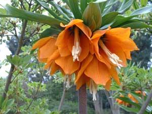 fritillaria-imperialis (300x225, 14Kb)
