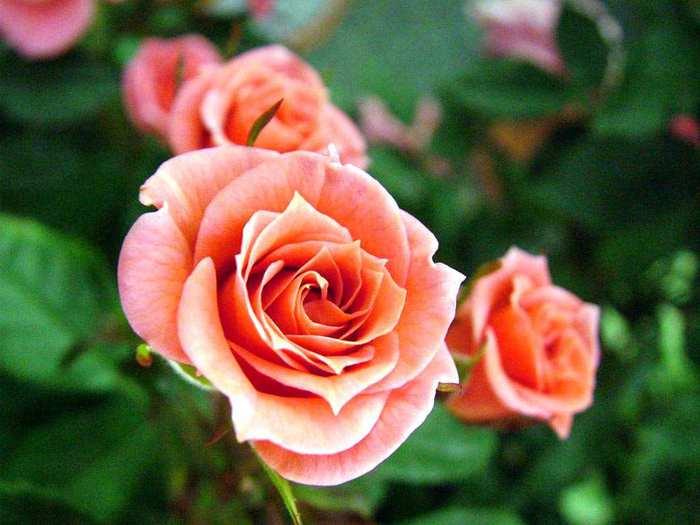 8-секретов-выращивания-роз (700x525, 36Kb)