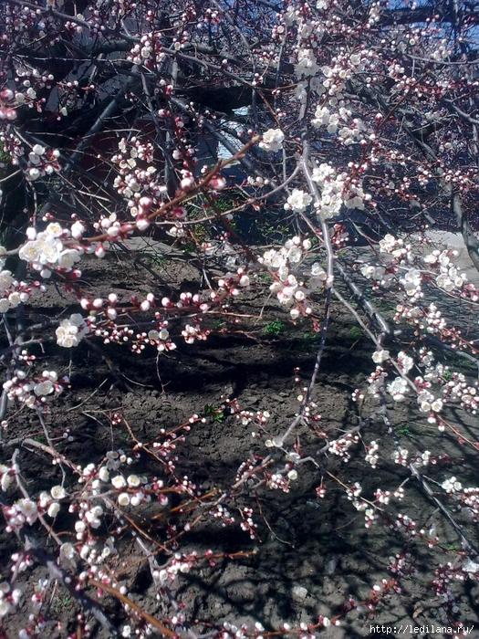 Весна под моим окном (525x700, 473Kb)