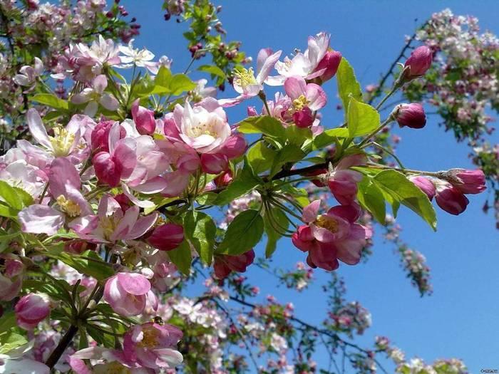 Картинки яблони в цвету 3