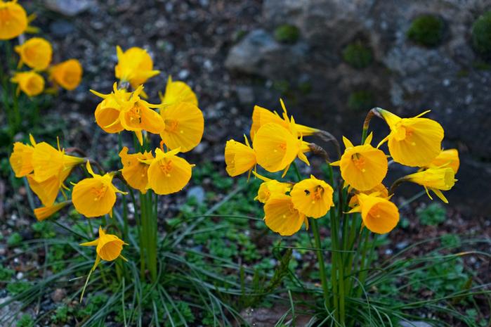 Нарцисс4 Narcissus bulbocodium (700x465, 407Kb)