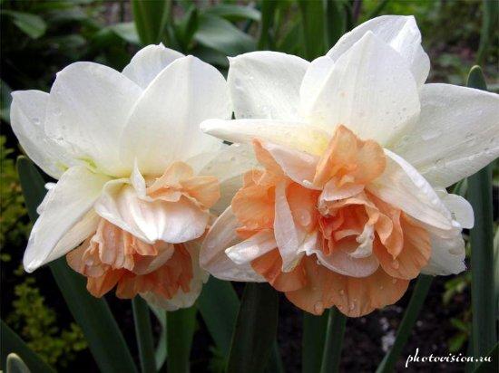 Нарцисс6 (550x412, 169Kb)