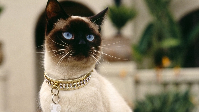 Siamese_cat_wallpaper_1366x768 (700x393, 186Kb)