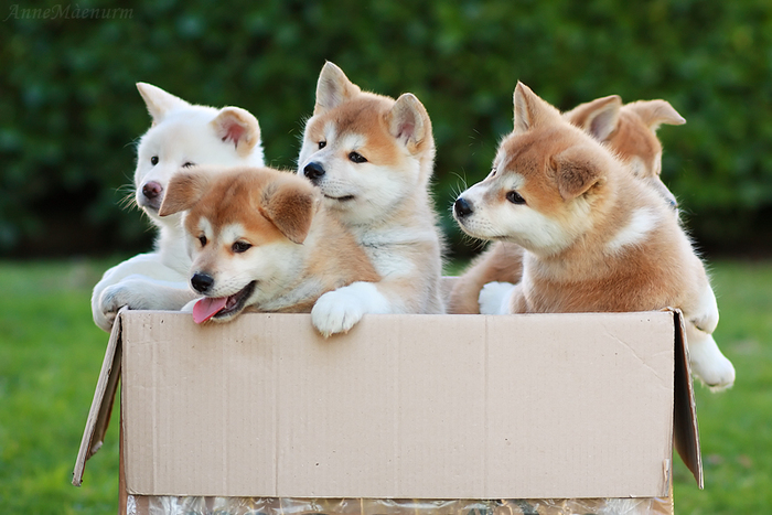 4-Akita Inu - breed dog Hachiko (700x467, 270Kb)