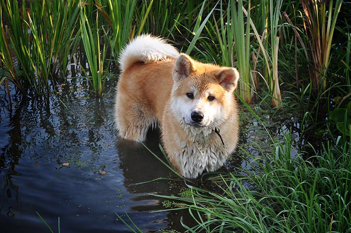 10-Акита-ину - порода собаки Хатико (700x464, 498Kb)