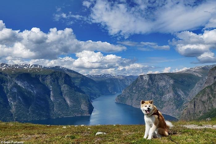 6-Akita Inu - breed dog Hachiko (700x466, 268Kb)