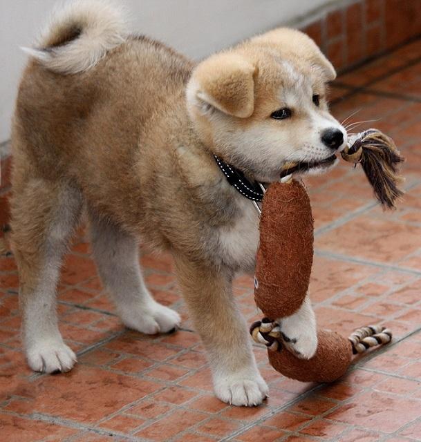 10-Акита-ину - порода собаки Хатико (609x640, 268Kb)