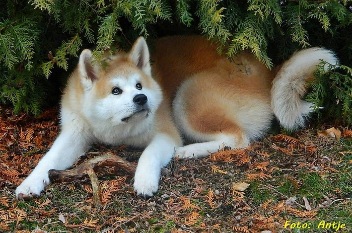 18 Akita Inu - breed dog Hachiko (700x463, 327Kb)