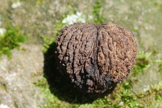 настойка черного ореха от паразитов