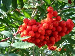 осенние ягоды (2) (250x187, 31Kb)