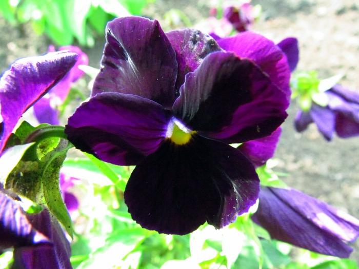 анютины глазки, фиалки, садовые цветы, сад, цветы, фото цветов, цветы на фото/4203019_IMG_1910 (700x525, 281Kb)
