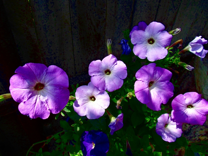 садовые цветы, сад, цветы, фото цветов, цветы на фото/4203019_ (700x525, 293Kb)