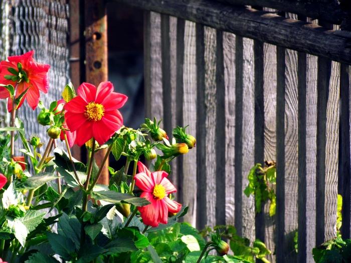 георгин, садовые цветы, сад, цветы, фото цветов, цветы на фото/4203019_IMG_4071 (700x525, 339Kb)