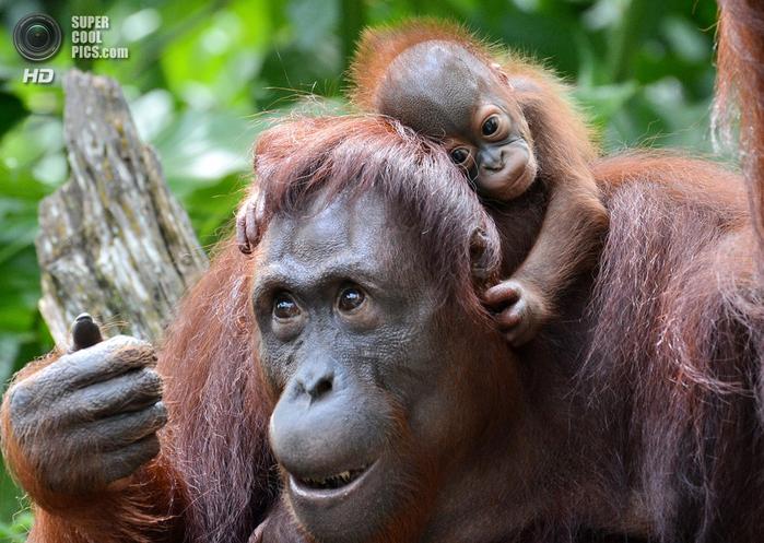 орангутанг фото (700x497, 454Kb)