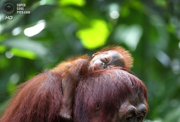 орангутанг фото 2 (700x476, 377Kb)