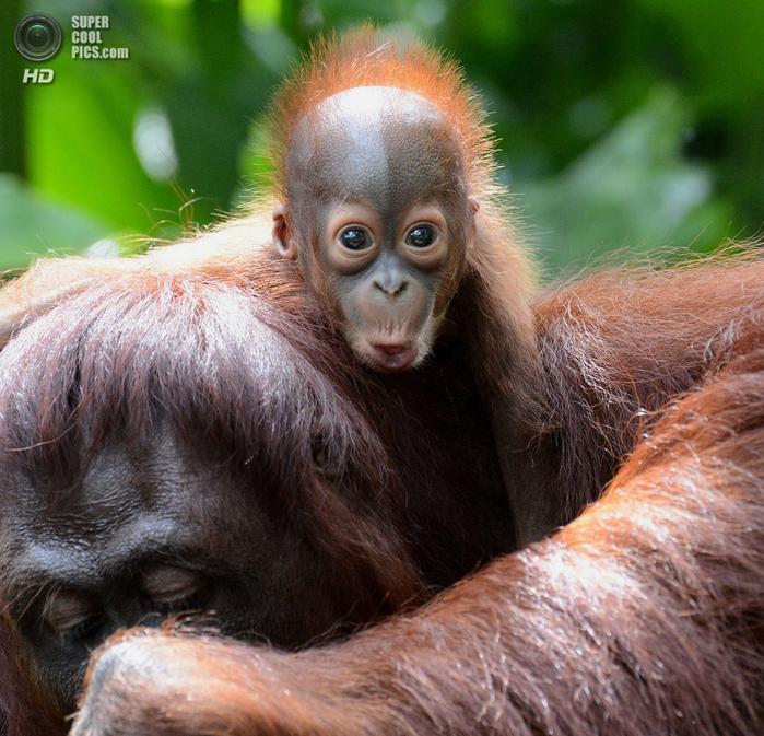 орангутанг фото 5 (700x673, 629Kb)