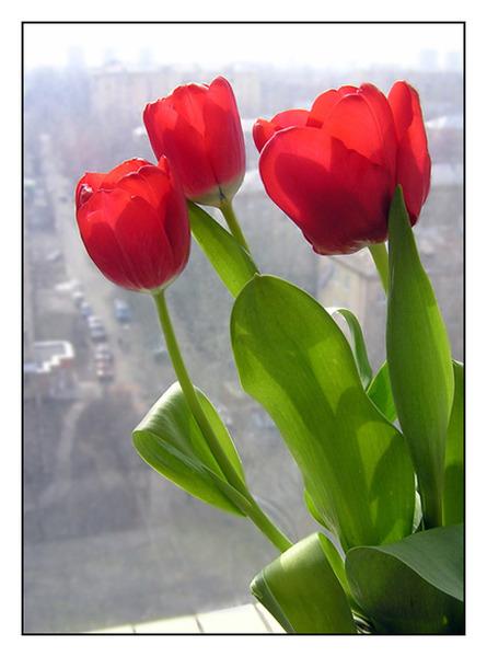 кр.тюльпан 1 (445x600, 174Kb)