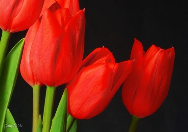 кр.тюльпан 3 (600x420, 162Kb)