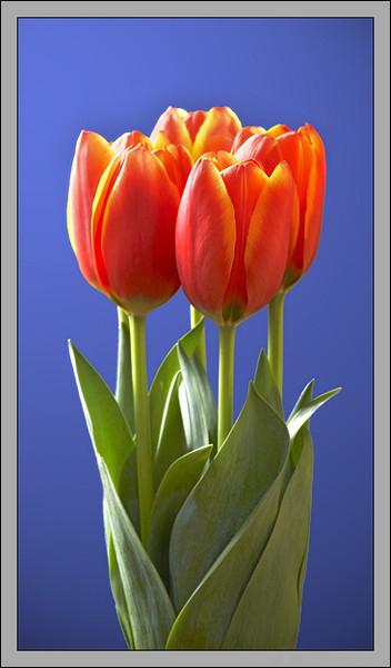 кр.тюльпан 5 (352x600, 133Kb)