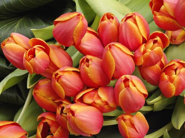 кр.тюльпан 9 (600x449, 257Kb)