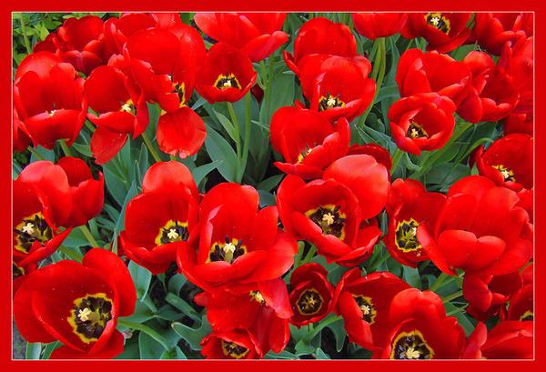 кр.тюльпан 21 (600x409, 331Kb)