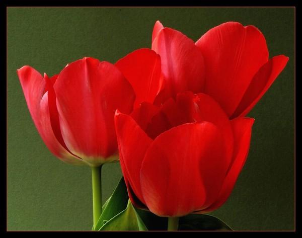 кр.тюльпан 23 (600x473, 175Kb)