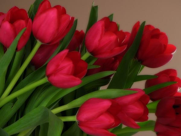 кр.тюльпан 25 (600x450, 181Kb)