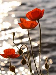 Poppies (194x260, 9Kb)