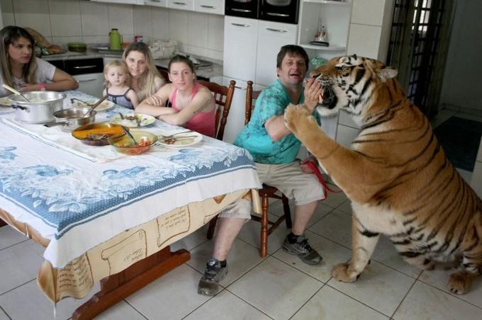 тигры фото 4 (680x452, 158Kb)