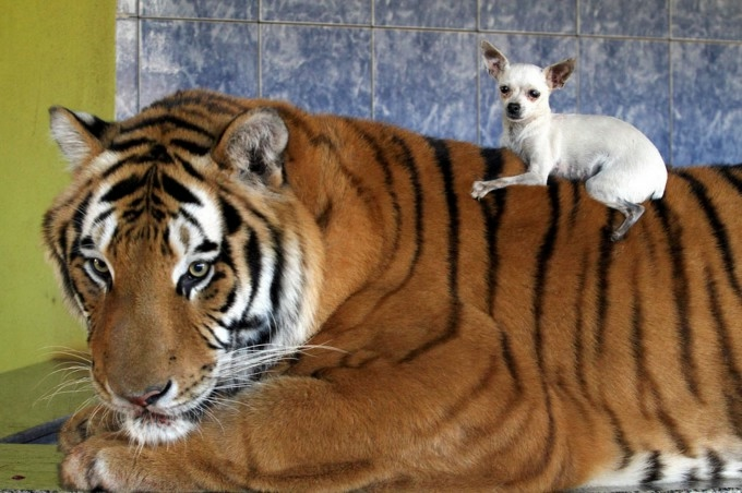 тигры фото 5 (680x452, 172Kb)