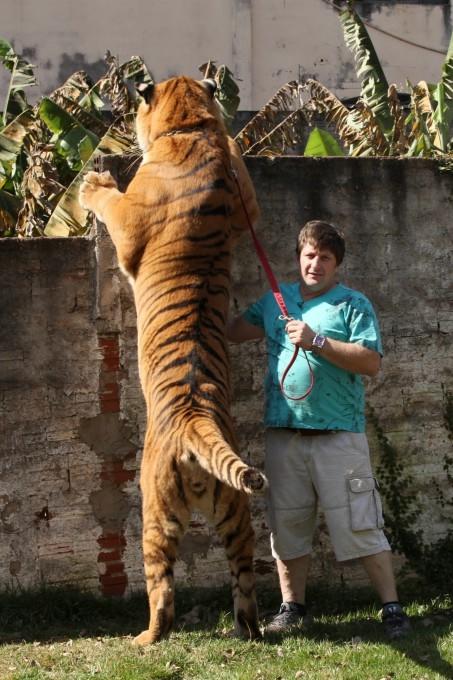 тигры фото 8 (453x680, 210Kb)