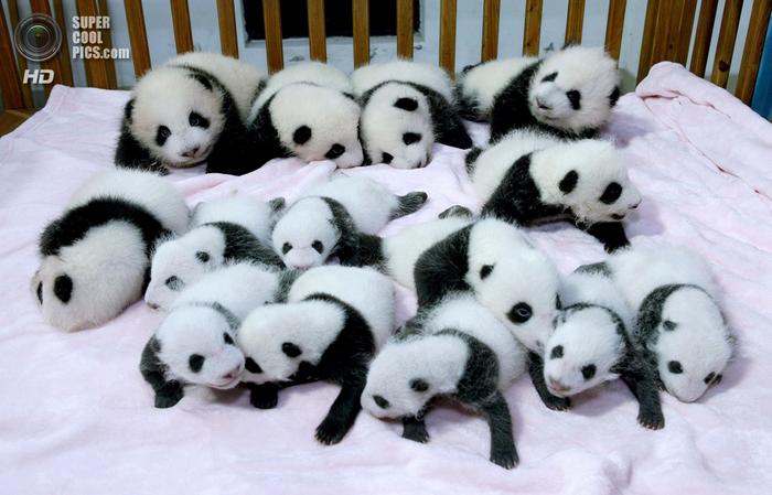 панды фото (700x449, 329Kb)