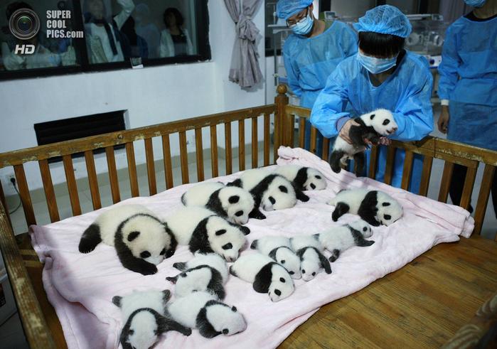 панды фото 2 (700x491, 413Kb)