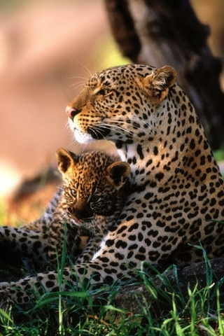 African Leopards (320x480, 128Kb)