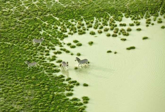 Botswana Bath by Zack Seckler   Photography Zebras (700x476, 270Kb)