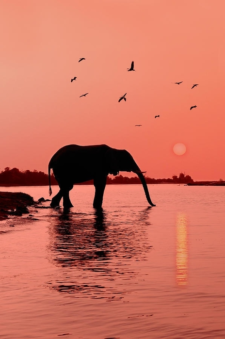 Sunset With Elephant Photograph by Christian Heeb (464x700, 150Kb)