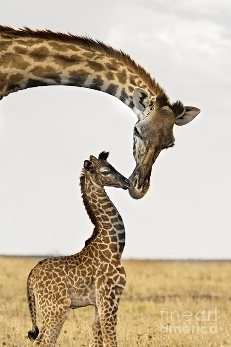 Giraffes First Kiss Fine Art Print - Carol Walker (466x700, 163Kb)