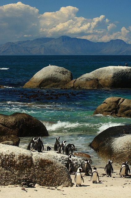 Penguins at Boulders Beach, South Africa (424x640, 226Kb)