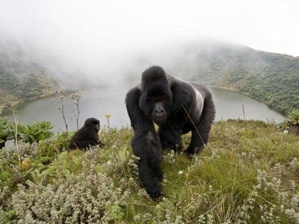 Silverback Gorilla (600x450, 136Kb)