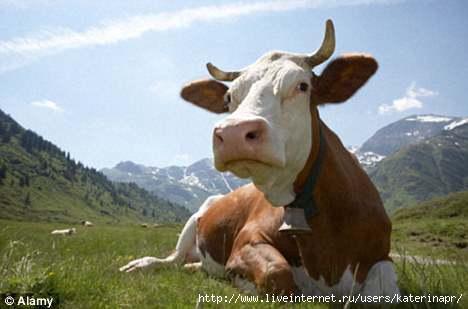 исследование рынка говядины/1380567811_korova (468x309, 61Kb)