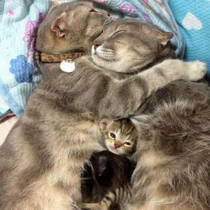 famiglia gatto (416x416, 164Kb)