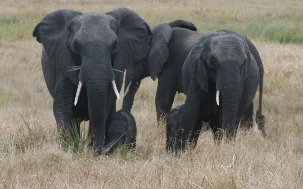 слоны (600x375, 81Kb)