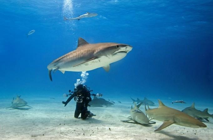 акула фото (680x448, 112Kb)