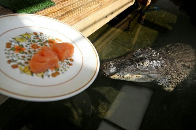 крокодил фото 1 (680x453, 129Kb)