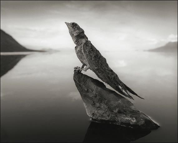 озеро натрон Nick Brandt 4 (570x457, 78Kb)