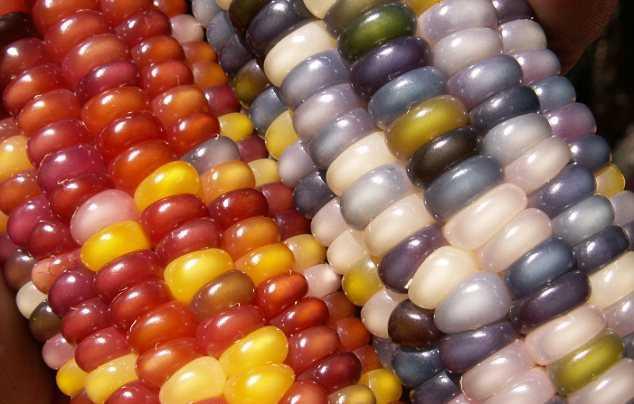 разноцветная кукуруза фото 3 (634x404, 212Kb)