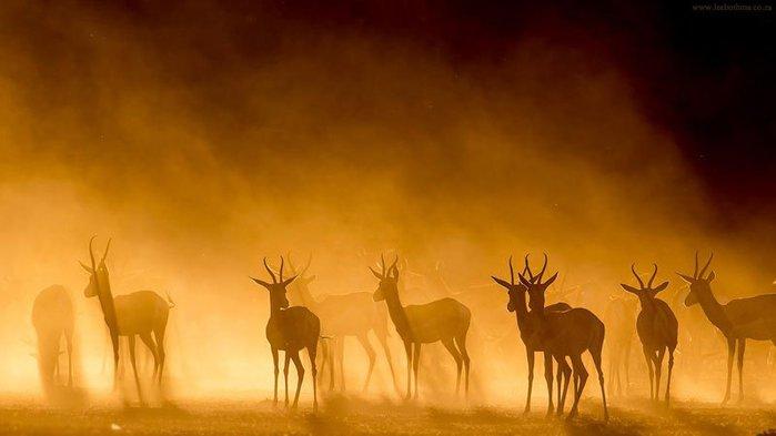 Антилопы в тумане