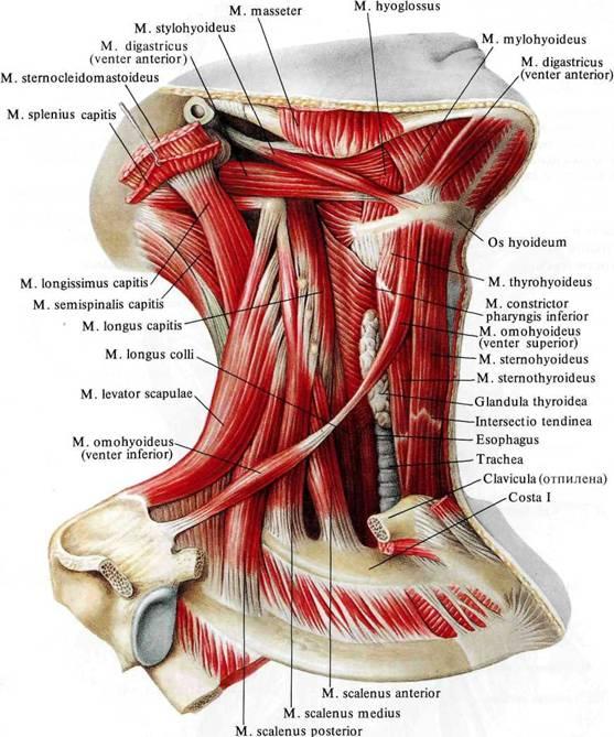 Мышцы шеи.