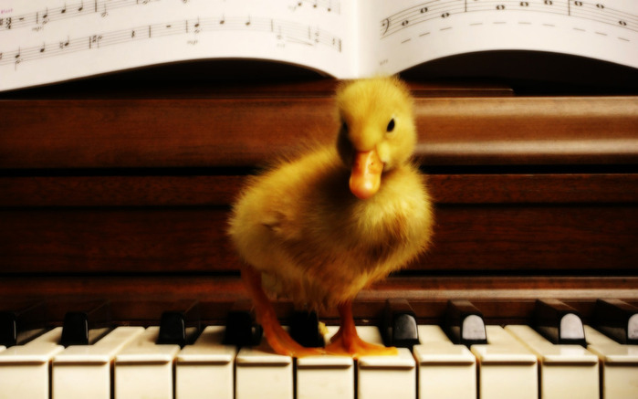 A_yellow_duckling_on_a_piano (700x437, 79Kb)