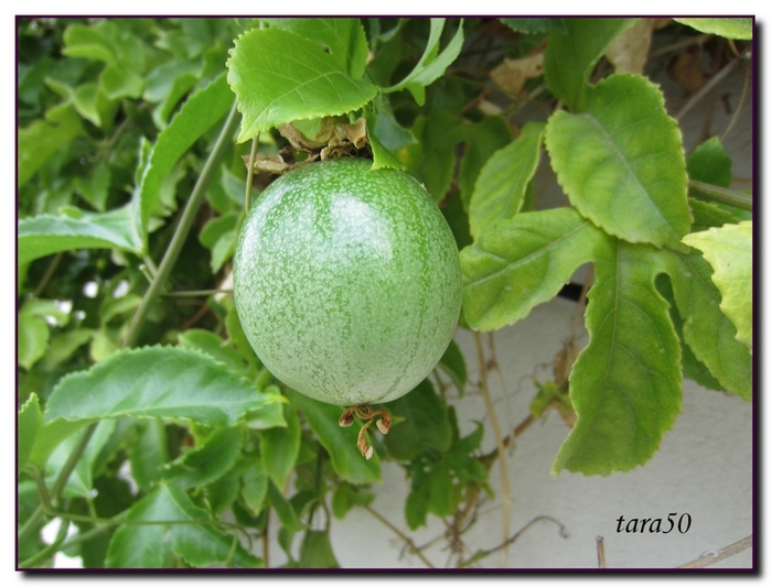 пассифлора плоды